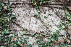 Usine verte de plante grimpante sur le mur photographie stock libre de droits