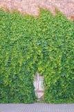 Usine verte de plante grimpante sur le mur Photos stock