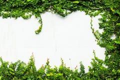 Usine verte de plante grimpante sur le mur blanc Photos stock