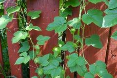 Usine verte de plante grimpante sur un mur en bois Photos stock