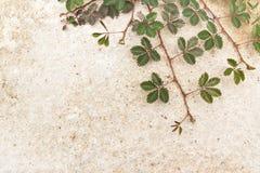 Usine verte de rampement sur le fond concret Photos stock