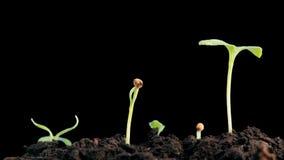 Usines élevant le timelapse d'isolement de sprigtime Graines de germination de Germitating Concept d'évolution, nouveau cycle de  banque de vidéos