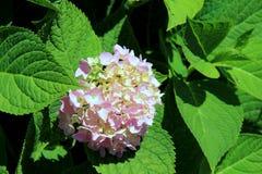 Usines assez roses d'hortensia dans le jardin aménagé en parc photos stock