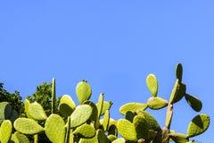 Usines auriformes de cactus d'optunia sur le fond de ciel bleu avec le grand espace de copie photos stock