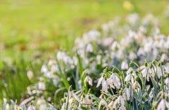 Usines communes de floraison de perce-neige de blanc de fin Image stock