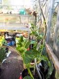 Usines croissantes de concombre à la maison en petite serre chaude Image libre de droits