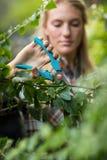 Usines d'élagage de jardinier avec des cisaillements Photographie stock libre de droits
