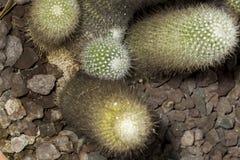 Usines d'or de succulent de cactus de boule de citron photos stock