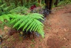 Usines d'herbe avec les feuilles vertes dans des forêts de pin, Indonésie image stock