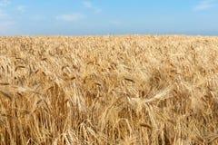 Usines d'or jaunes de blé dans un domaine de blé sous un ciel bleu Photo stock