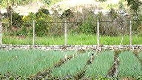 Usines d'oignon vert d'oignon blanc dans le jardin, ville de Lat du DA, province de Lam Dong, Vietnam clips vidéos