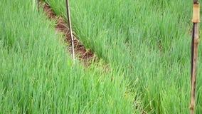 Usines d'oignon vert d'oignon blanc dans le jardin, ville de Lat du DA, province de Lam Dong, Vietnam banque de vidéos