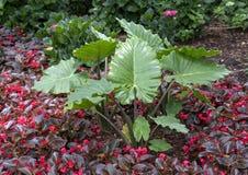 Usines d'oreille de Bigleaf Hydrangia, de bégonia et d'éléphant dans le lit de fleur chez Dallas Arboretum image libre de droits