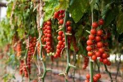 Usines dans l'élevage de tomates de rouge de cerise de serre chaude Photographie stock