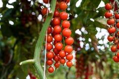 Usines dans l'élevage de tomates de rouge de cerise de serre chaude Photos libres de droits