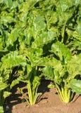 Usines de betterave à sucre de fin Image stock