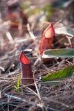 Usines de broc de Vieux Monde de Nepenthes Images stock