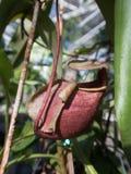 Usines de broc tropical ou tasses de singe Images libres de droits