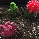 Usines de cactus Image libre de droits