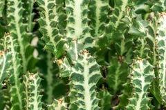 Usines de cactus au soleil Images libres de droits