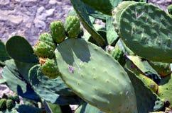 Usines de cactus de Geen en soleil Image stock