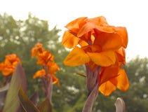 Usines de Canna dans l'orange chaude Photographie stock