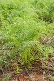 Usines de carotte dans le jardin photo stock