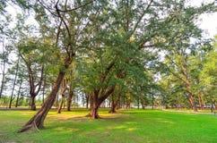 Usines de Casuarina s'élevant sur la pelouse verte Photographie stock