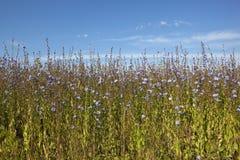 Usines de chicorée fleurissantes Photographie stock libre de droits