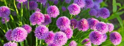 Usines de ciboulette en pleine floraison Photos stock