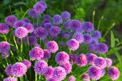 Usines de ciboulette en pleine floraison Photographie stock