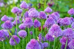 Usines de ciboulette en pleine floraison Image stock