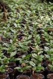 Usines de Coffe d'une plantation image libre de droits
