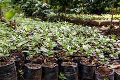 Usines de Coffe d'une plantation photo libre de droits