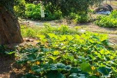 Usines de courgette dans le jardin rural Photographie stock