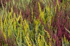 Usines de floraison de bruyère en automne Images libres de droits