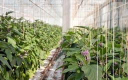 Usines de floraison d'aubergine en grande serre chaude Image libre de droits