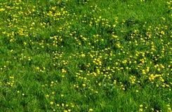 Usines de floraison de pissenlits sur un pré Images stock