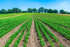 Usines de haricots verts s'élevant sur un champ Photographie stock