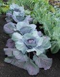 Usines de légume de chou Photo libre de droits
