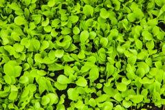 Usines de laitue s'élevant dans un jardin viable Images libres de droits
