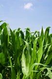 Usines de maïs Image libre de droits