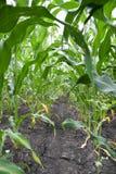 Usines de maïs avec le sol sec Images libres de droits