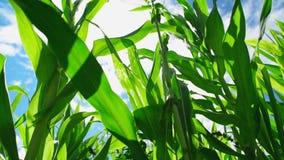 Usines de maïs de maïs vert dans le domaine agricole cultivé avec des rayons du soleil et la fusée prête pour silaging clips vidéos