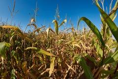 Usines de maïs jaunes avec le ciel bleu en automne Image libre de droits