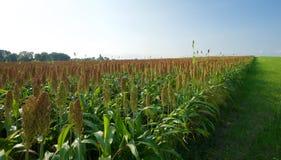 Usines de maïs non mûres photographie stock libre de droits