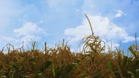 Usines de maïs ondulant dans le vent - plus venteux banque de vidéos