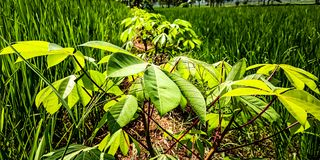 Usines de manioc dans des frontières de gisement de riz photos libres de droits