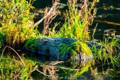 Usines de marais Photographie stock libre de droits