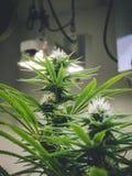 Usines de marijuana d'intérieur de bourgeonnement s'élevant jusqu'aux lumières Photographie stock libre de droits
